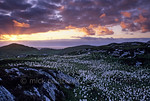 [BRITAIN.HEBRIDES 27704] ?Cotton grass near Carloway.?  The plumes of common cottongrass cover the undulating landscape west of Carloway on the northern shore of the Isle of Lewis. T ...
